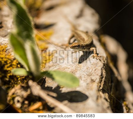 Small Nimble Lizard On The Rocks