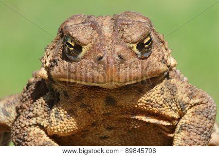 Female American Toad (bufo Americanus)