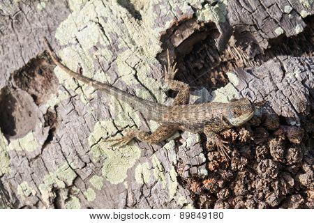 Detail of a lizard on a Brazilian palm tree trunk.