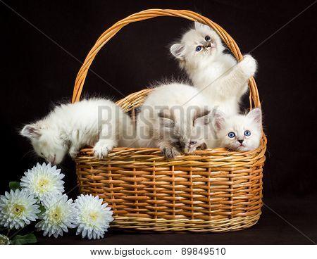 Four Neva Masquerade  Kittens In Basket