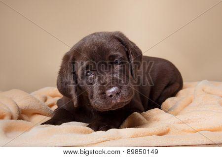 Puppy Breed Labrador