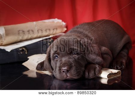 Puppy Breed Labrador
