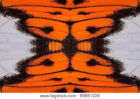 Great Orange Tip Butterfly (hebomoia Glaucippe)