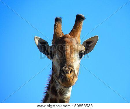 Giraffe Staring back