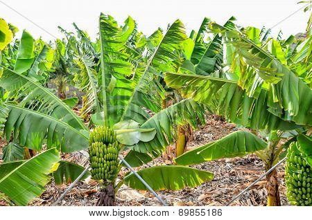 Banana Plantation Field