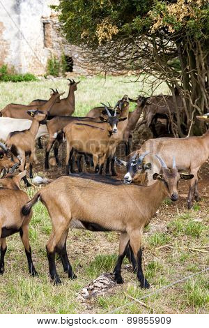 herd of goats, Aveyron, Midi Pyrenees, France
