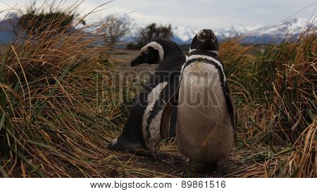 Couple of penguins in Ushuaia, Argentina