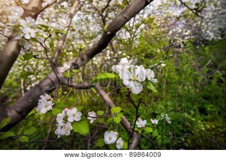 Spring Apple Tree