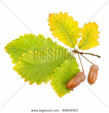 Acorns And Oak Leaves Isolated On White Background