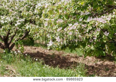 Spring orchard with blooming quince