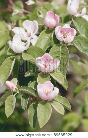 Blossoms of flowering quince