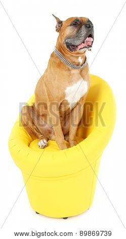 Cute dog in yellow armchair isolated on white background