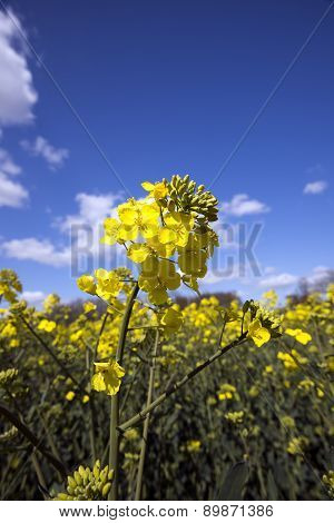 Sky Blue Flowering Rapeseed
