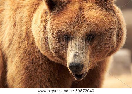 The Face Of A Bear