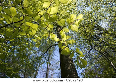 Fresh Green Beech Leaves