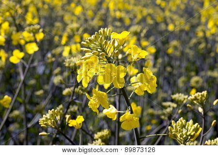 Rape Flowers And Field