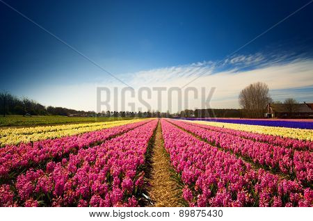 Hyacinth Flower Fields In Full Blossom