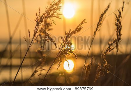 Reed Close-up At Sunset