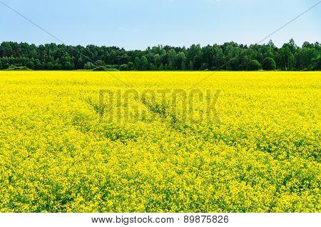 Bright Yellow Oilseed Rape Field