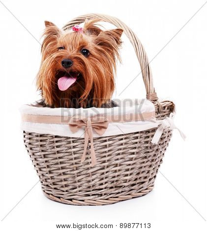 Cute Yorkshire terrier in wicker basket isolated on white