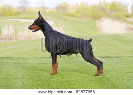 Black Doberman Dog Is Standing In Profile