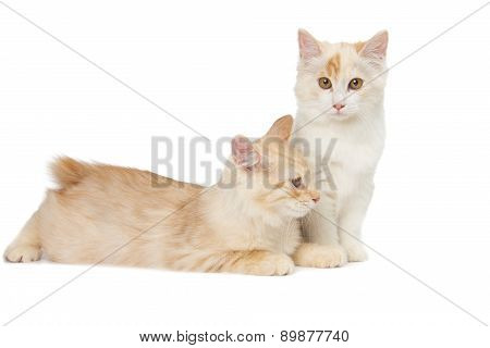 Two Kurilian Bobtail Cats