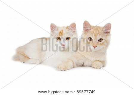 Two Kurilian Bobtail Cats