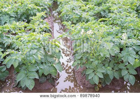Irrigating potato plantation rows over furrows