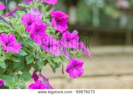 Pink Petunia Flower.