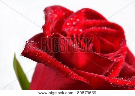 Macro Of  Red Rose With Water Droplets.