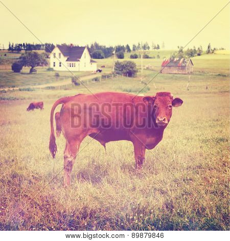 cow stands in the pasture with instagram effect