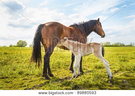 Newborn Foal Sucks Milk From Her Mother