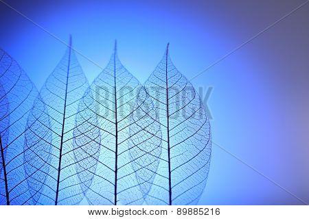 Skeleton leaves on blue background, close up