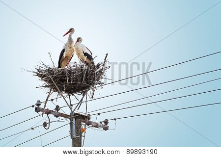 Pair Of White Storks In Nest