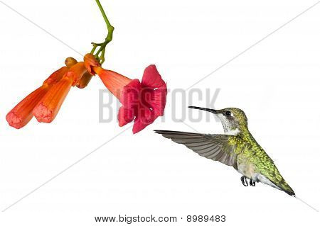 Hummingbird And The Flower Of A Trumpet Vine