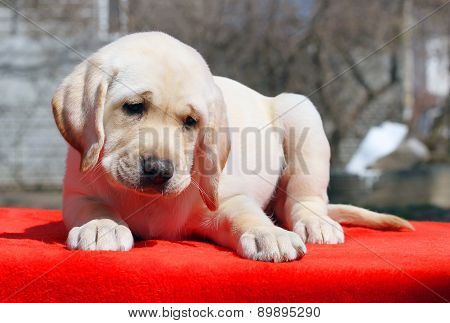 A Nice Labrador Puppy On The Red Background