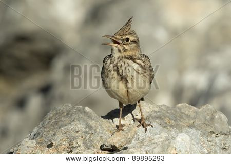 Crested Lark Singing