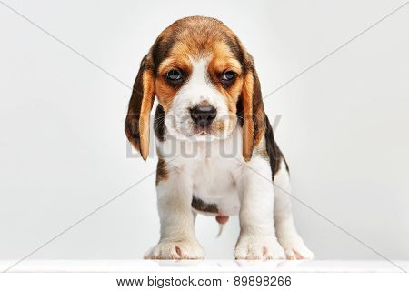 Beagle puppy on white background