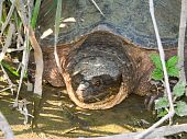 stock photo of winnebago  - A Snapping Turtle  - JPG