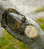 stock photo of olive branch  - Cutting dead branches and - JPG