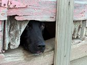 pic of seeing eye dog  - Candid digital shot of a black lab curiously peaking through a gap in the crumbled wall of an old farm shed - JPG