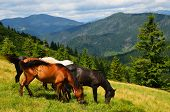 picture of feeding horse  - Well fed horses on the mountain pasture feeding on the grass field - JPG