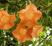 picture of trumpets  - blossom of the toxix plant angel - JPG
