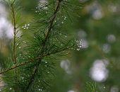 image of raindrops  - Raindrops on the fir needles - JPG
