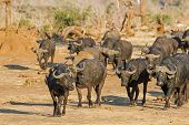 pic of cape buffalo  - A herd of cape buffalo approach a waterhole with accompanying red billed oxpecker - JPG