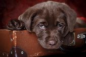 stock photo of labradors  - Studio portrait puppy labrador on a colored background - JPG