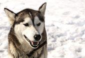 foto of siberian husky  - Siberian Huskies in nursery for dogs on Kamchatka - JPG