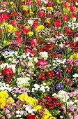 picture of primrose  - Pretty flowerbed with Spring flowers including Bellis Primroses and Tulips Shrewsbury Shropshire England UK Western Europe - JPG