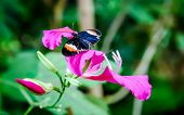 stock photo of postman  - Heliconius erato  - JPG