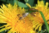 pic of pollen  - Honey bee collects pollen from a dandelion  - JPG